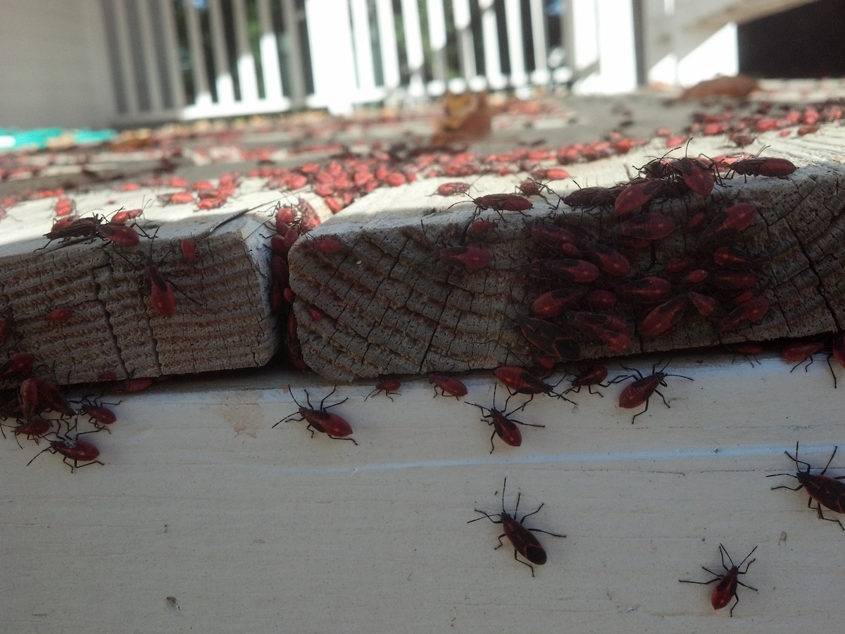 Box Elder Bugs Facts Information Control