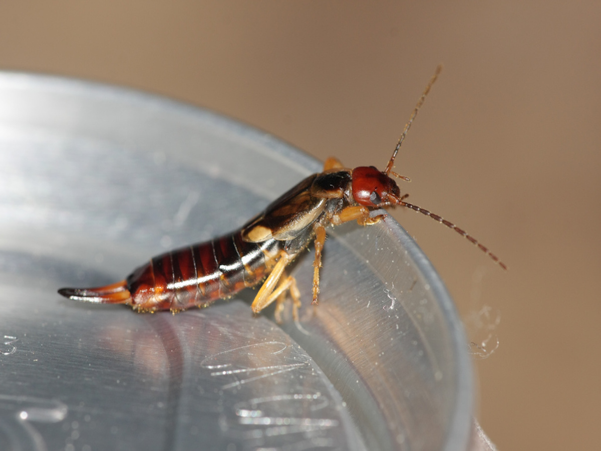 Photo of an earwig on a soda can