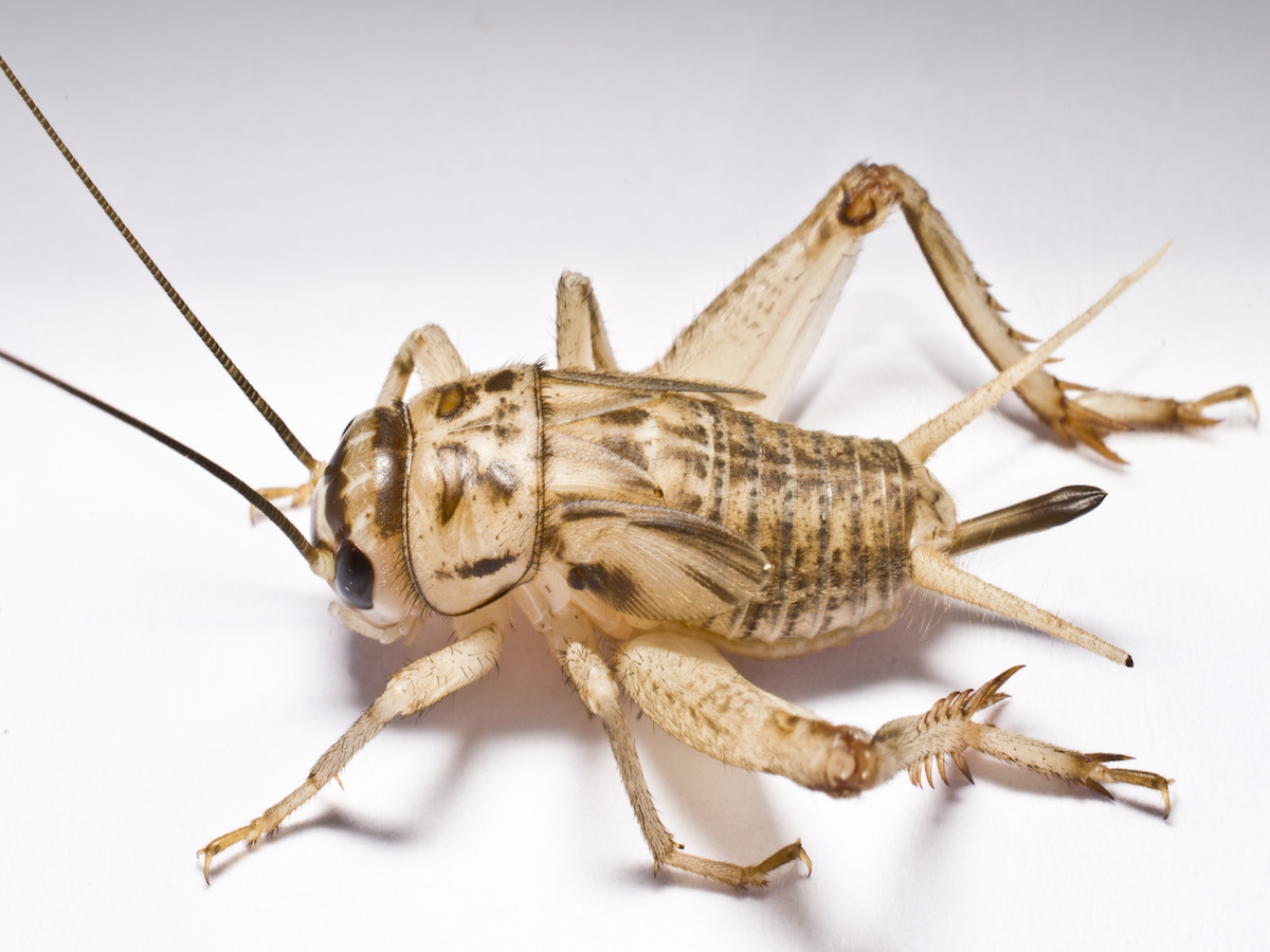 House Cricket Information - How to Get Rid of Crickets