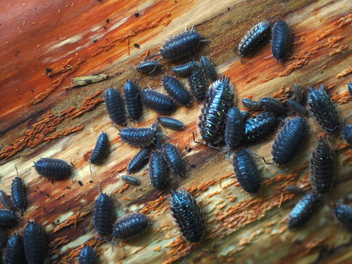 Get Rid Of Pill Bugs Rollie Pollies Pill Bug Pest Info