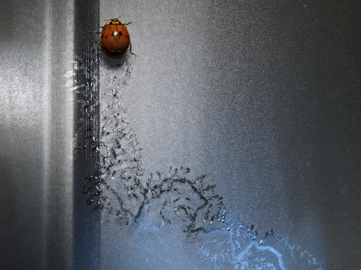 Get Rid of Ladybugs: Ladybug Pest Control Information
