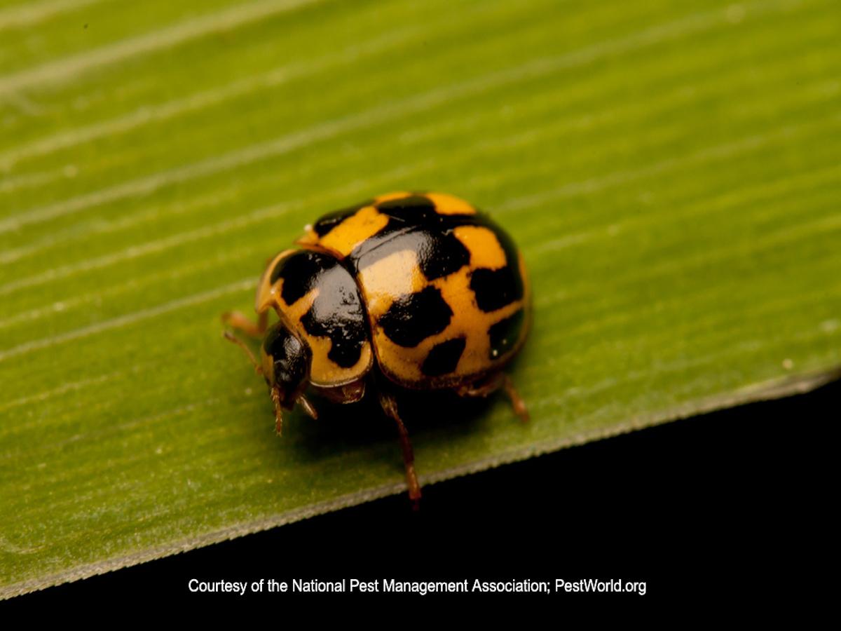 Photo Of A 14 Spotted Ladybug Sitting On Leaf