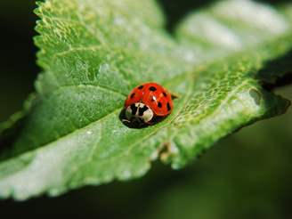 how to get rid of chinese ladybugs