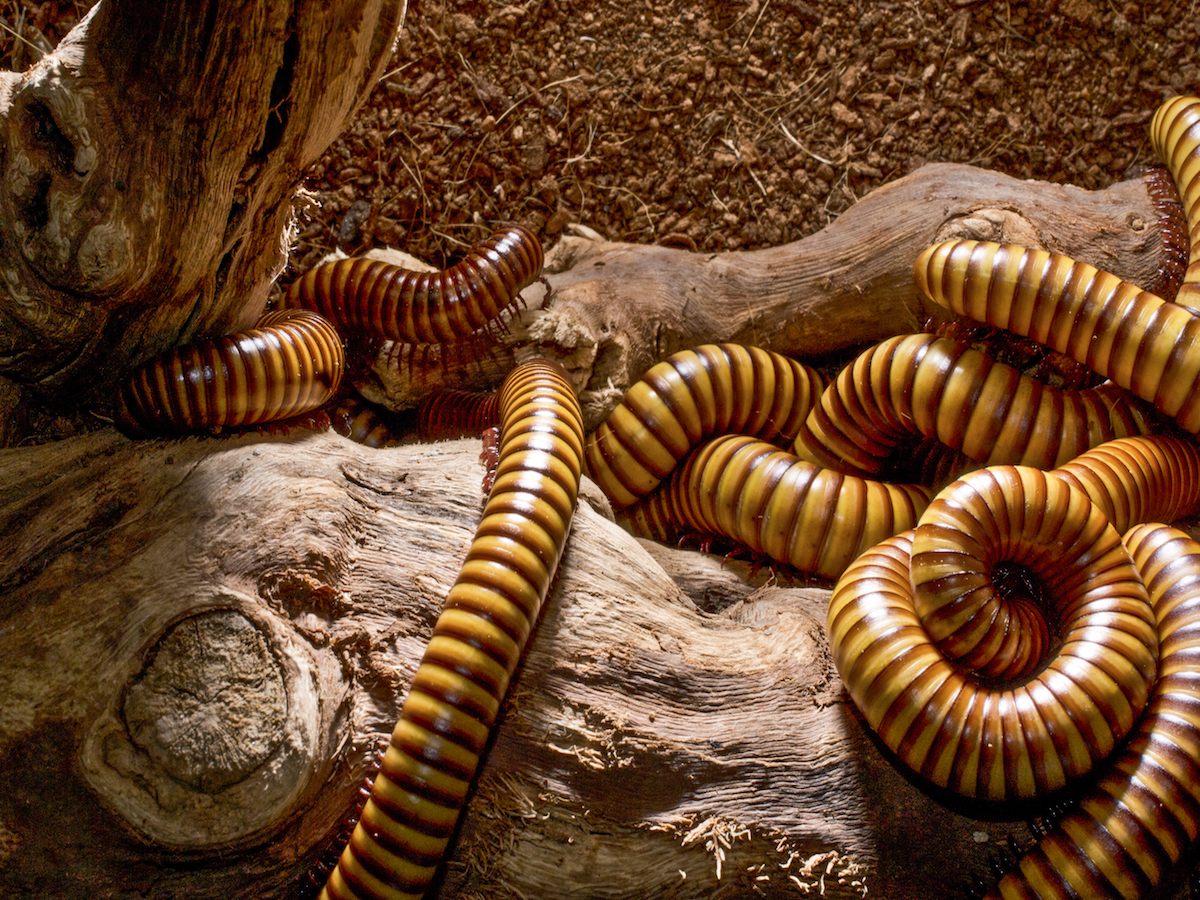 get rid of millipedes millipede control information