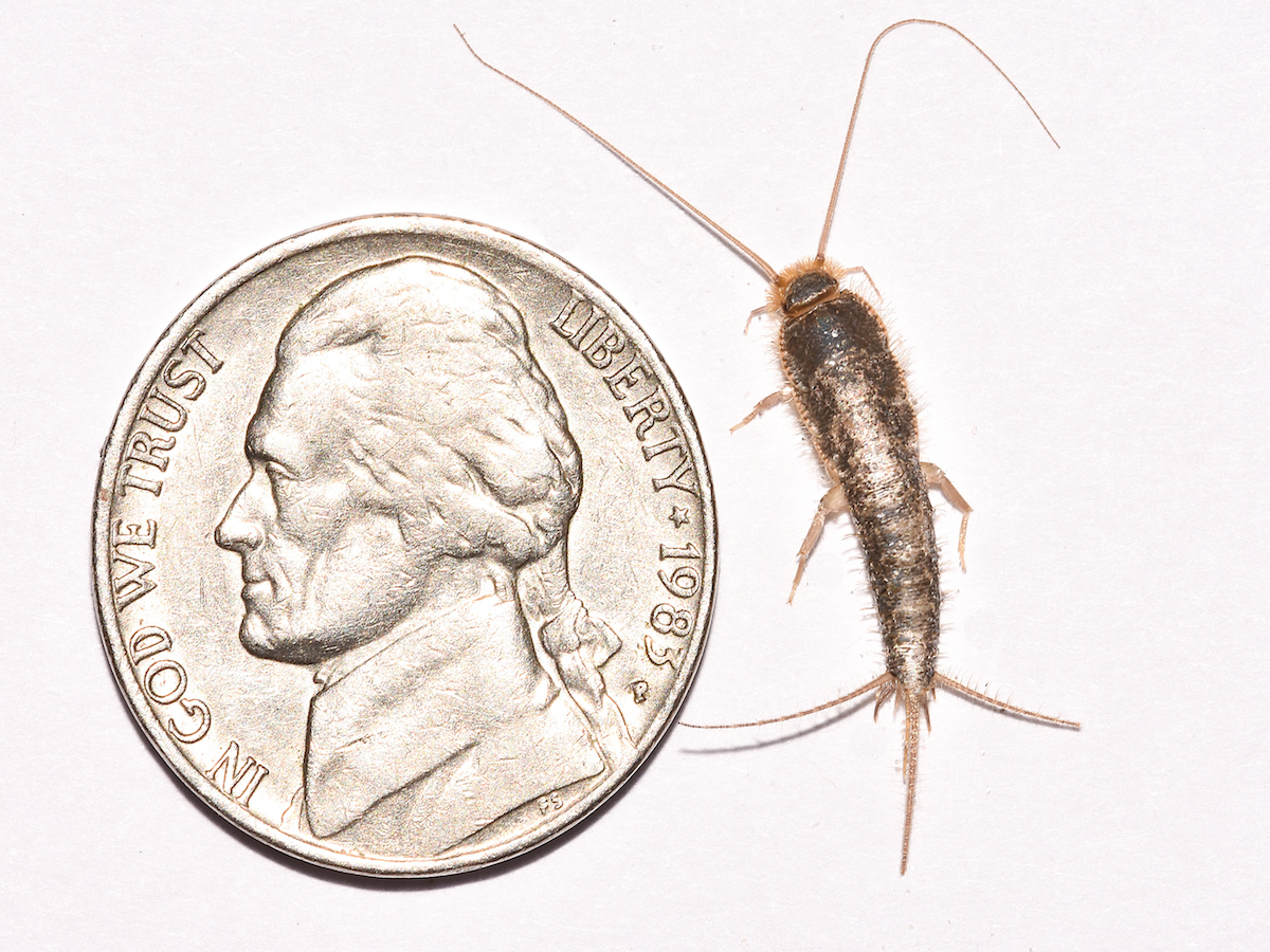 Get rid of silverfish silverfish control information for Small silver fish