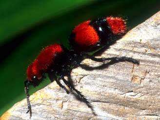 Velvet Ant Female 3 Jpg
