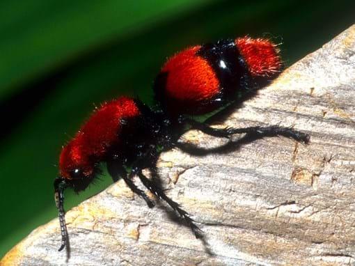 Red Velvet Ants Cow Killer Ants Stinging Ant Profile
