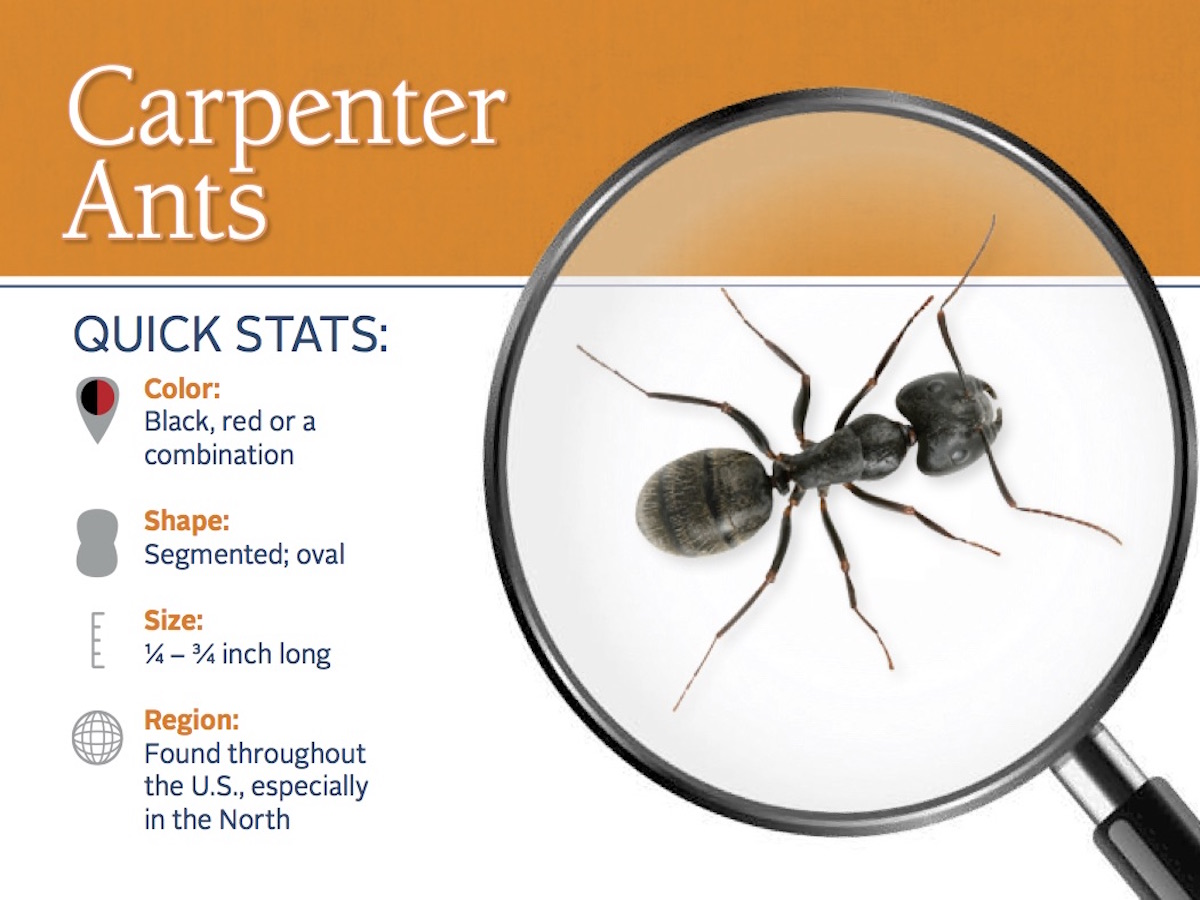 Carpenter Ants How To Get Rid Of Black Carpenter Ants