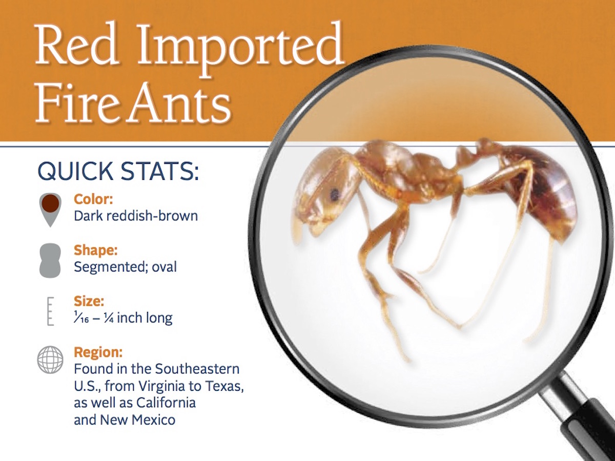 Red Fire Ants: How to Treat Bites & Get Rid of Red Ants