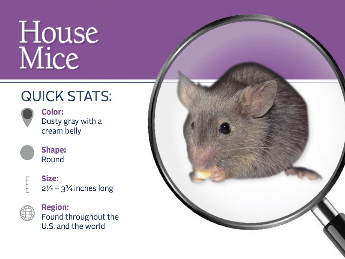 Snapshot Of The Earance And Distribution House Mice