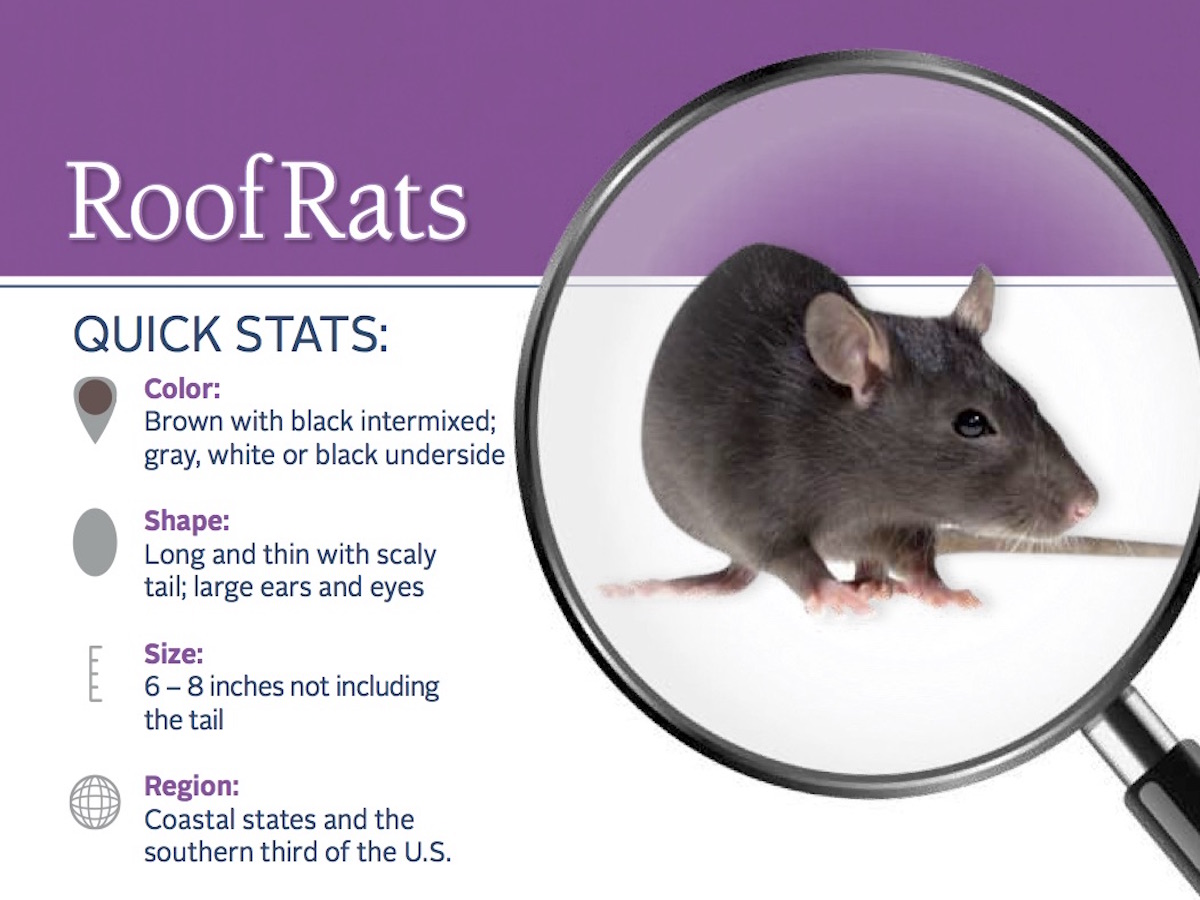 Roof Rat Pest ID Card_Front.jpg