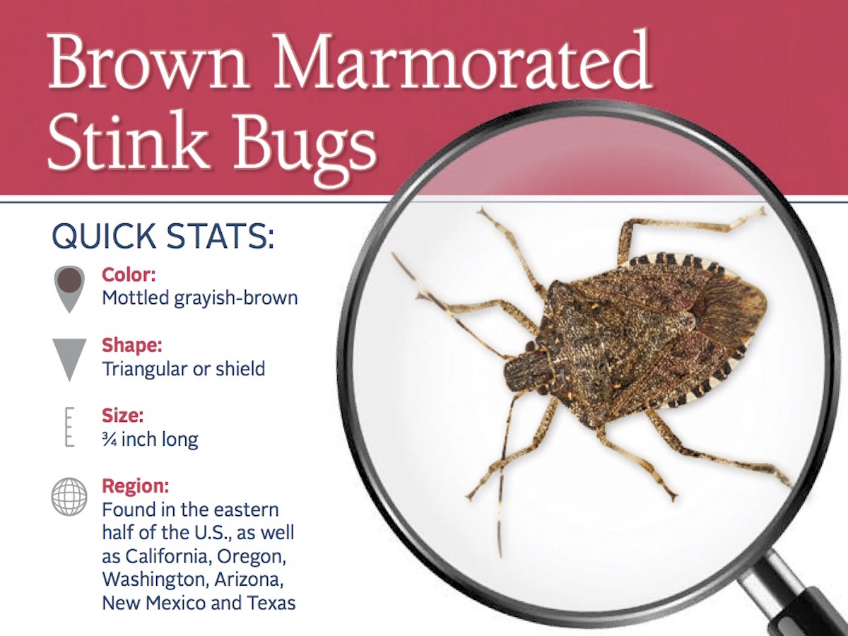 Stink Bug Control Info How To Get Rid