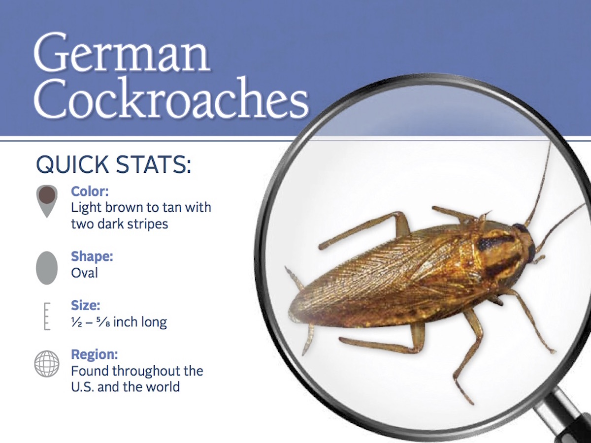 German Cockroaches: Photos & Control Information