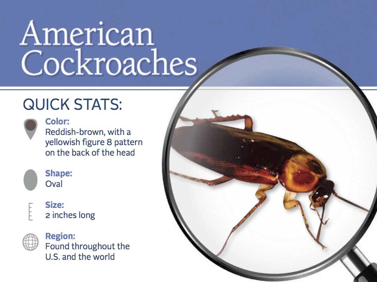 American Cockroaches Control - Facts & Information