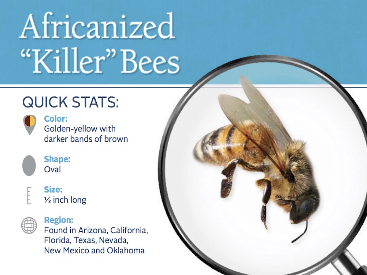 Africanized Killer Bees: Information About African Bees