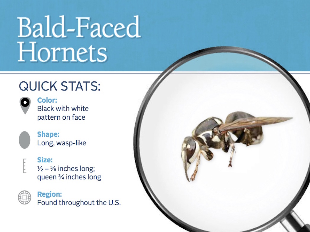 Bald Faced Hornet Information Photos Hornet Stings