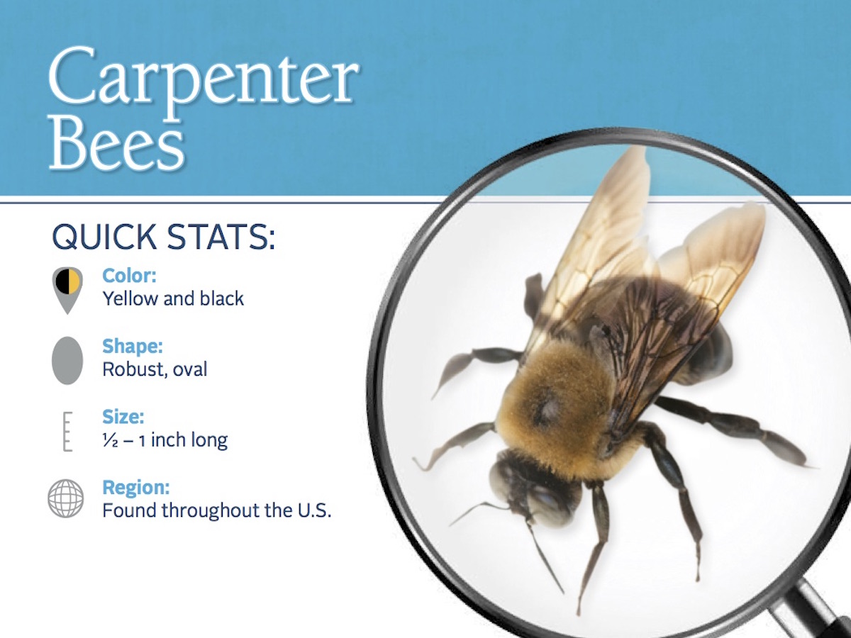 Snapshot Of The Appearance And Distribution Carpenter Bees