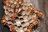 Paper wasp group 3.JPG