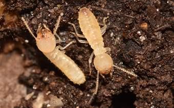 Formosan Termite Southern CA