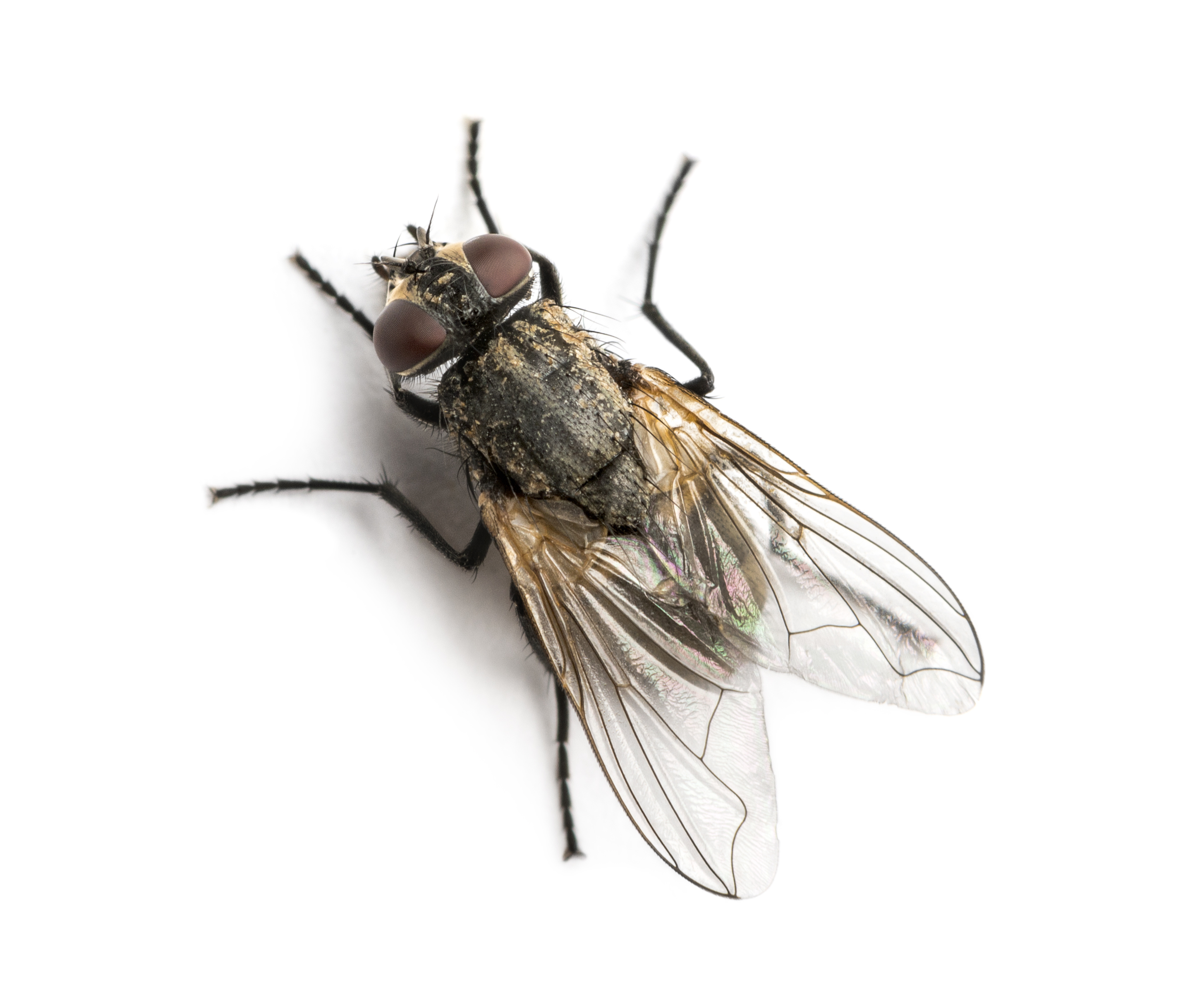Get rid of house flies house fly control information for Fliegen larve