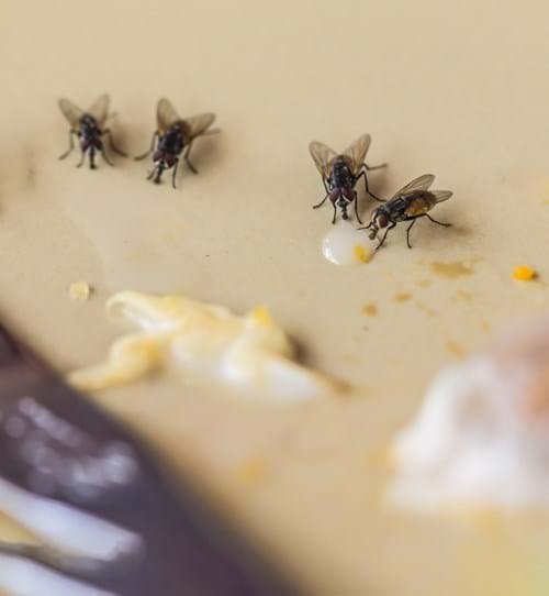 Get Rid of House Flies: House Fly Control Information
