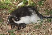 hooded-skunk-1591311_1920.jpg