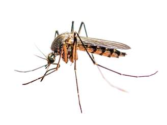 Yellow Fever Mosquito_Full.png
